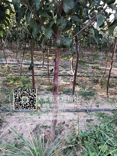 供应全国各地苹果苗 苹果树 寒富苹果苗 苹果小树