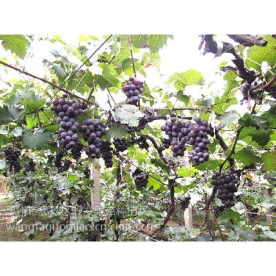 供应批发 树葡萄苗巨锋葡萄苗 果苗木果树苗
